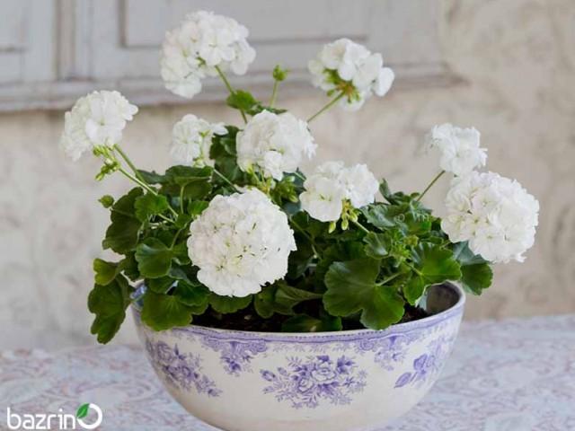 بذر گل شمعدانی سفید