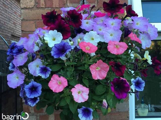 بذر گل اطلسی آویز الوان