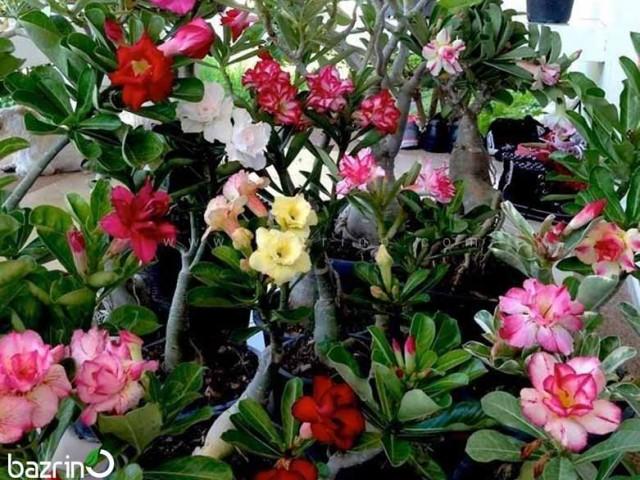 بذر گل آدنیوم میکس