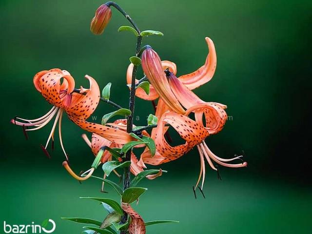 بذر گل چلچراغ پابلند نارنجی
