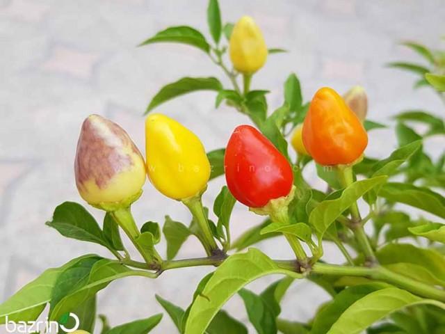 بذر فلفل بولیوی رنگین کمانی