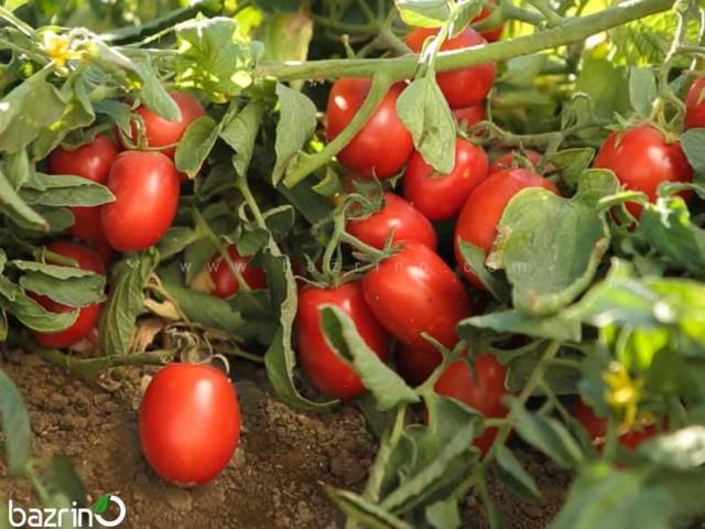 بذر گوجه فرنگی بوته ای سوپرچف
