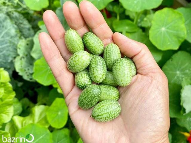 بذر خیار مکزیکی (هندوانه مینیاتوری)