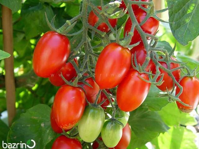 بذر گوجه چری کشیده قرمز
