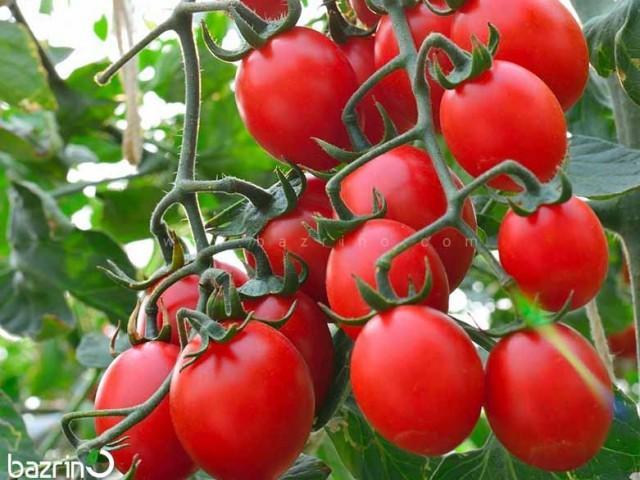 بذر گوجه چری قرمز درختی