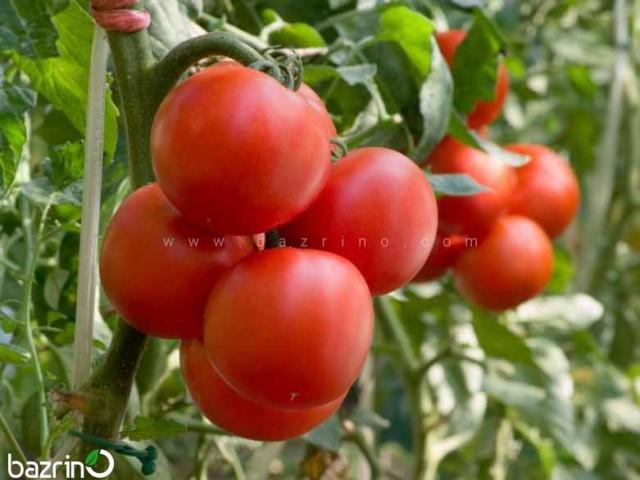 بذر گوجه فرنگی درختی هیبرید (گلخانه ای)
