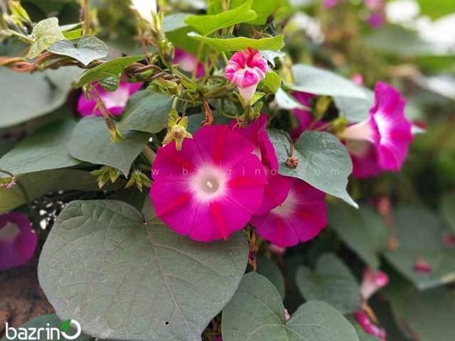 بذر گل نیلوفر رونده صورتی