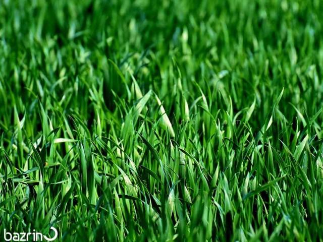 بذر چمن اسپورت