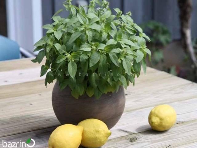 بذر ریحان لیمویی