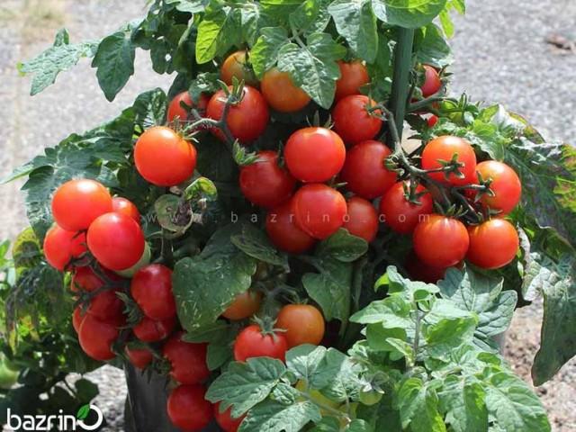 بذر گوجه چری قرمز مینیاتوری