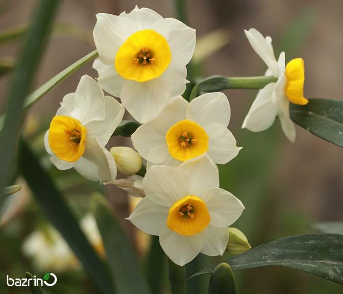 کاشت گل نرگس در گلدان