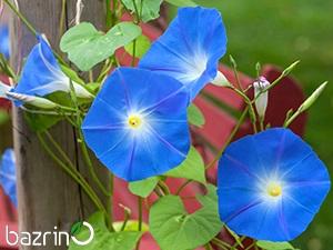 بذر گل نیلوفر رونده آبی