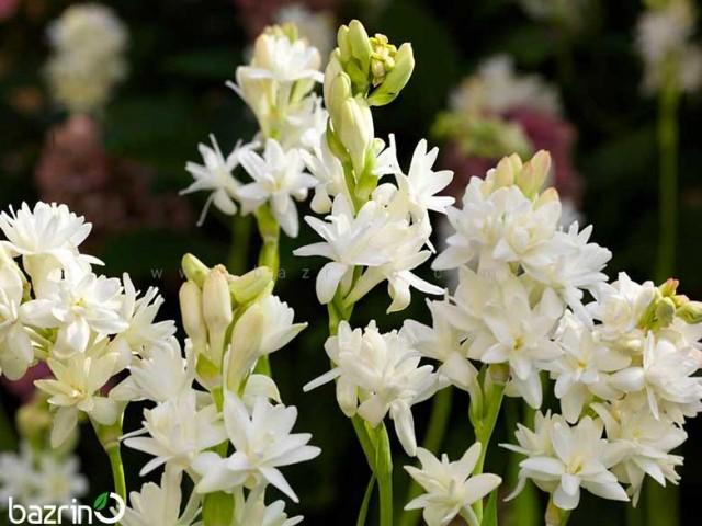 پیاز گل مریم( 1 عددی )
