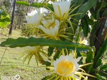 بذر دراگون زرد(میوه اژدها)