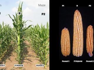 بذر هیبرید و تاثیر آن در کشاورزی نوین