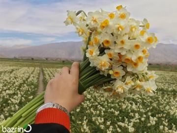پیاز گل نرگس شیراز (بسته 1 کیلویی)