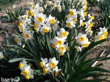 پیاز گل نرگس شیراز شش پر