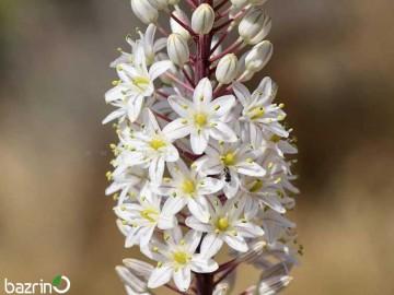 پیاز گل دریمیا ماریتیما