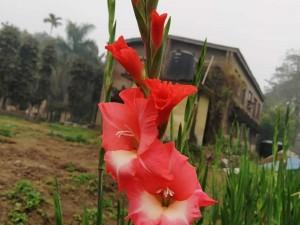 پیاز گل گلایل قرمز