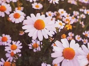 بذر گل بابونه شیرازی
