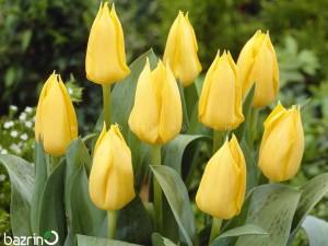 پیاز گل لاله زرد هلندی