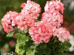 بذر گل شمعدانی سفید قرمز