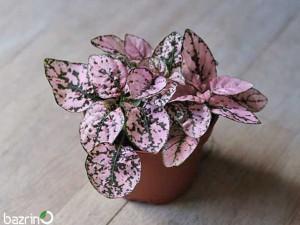 بذر گل سنگ صورتی