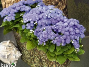 بذر گل ابر پاکوتاه آبی