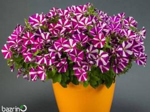بذر گل اطلسی ارغوانه ستاره (وانیا)