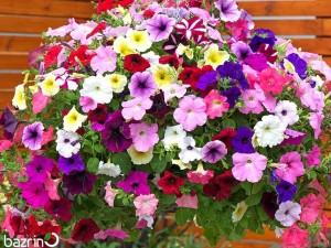 بذر گل اطلسی پر گل الوان