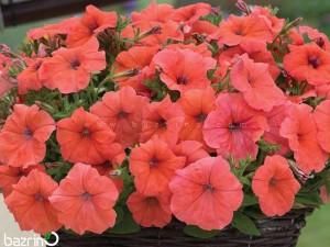 بذر گل اطلسی گلبهی
