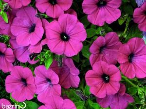 بذر گل اطلسی ارغوانی