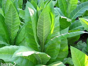 بذر تنباکو
