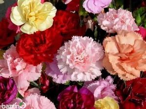 بذر گل میخک پاکوتاه الوان