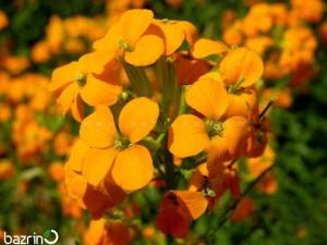 بذر گل شب بو زعفرانی متوسط