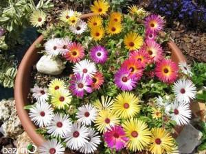بذر گل ناز فرانسوی الوان