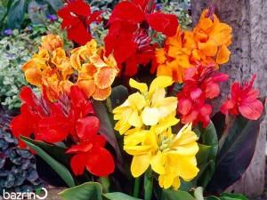 بذر گل اختر الوان
