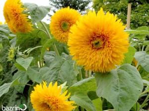 بذر گل آفتابگردان پابلند پر پر زرد