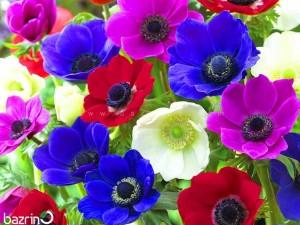 بذر گل شقایق نعمانی پامتوسط الوان (آنمون)