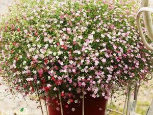 گل عروس الوان