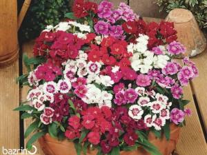 بذر گل قرنفل پاکوتاه الوان