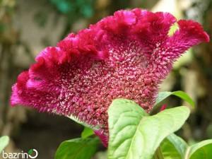 بذر گل تاج خروس تاجی قرمز