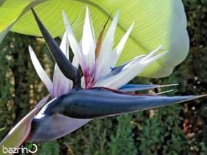 بذر گل پرنده بهشتی سفید