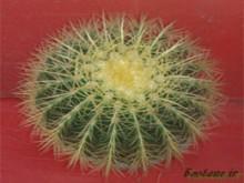 کاکتوس اکینو گرازونی