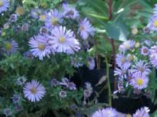 گل ستاره ای