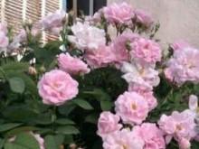 نهال ریشه دار گل رز از گونه تالونه