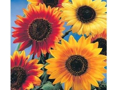 بذر گل آفتابگردان الوان
