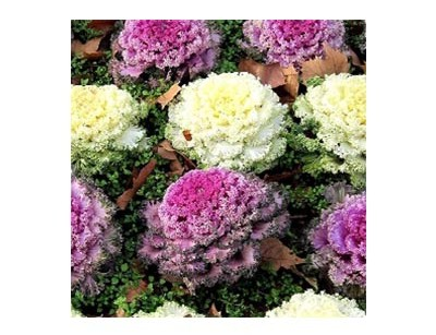 بذر گل کلم زینتی الوان