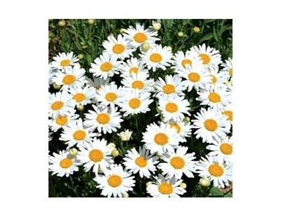 بذر گل مارگریت