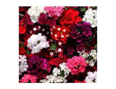 بذر گل شاهپسند الوان